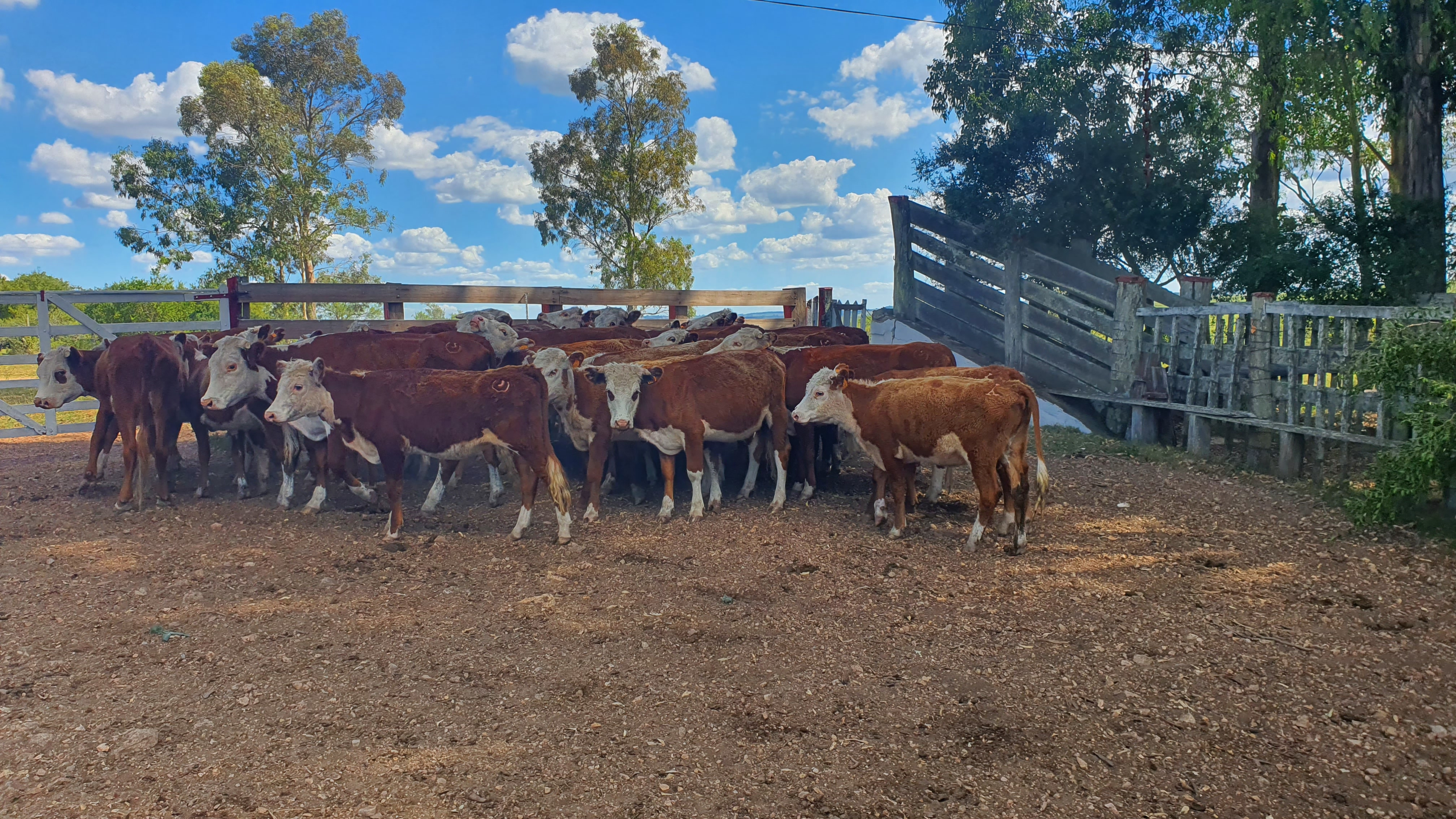 Lote 34 Vaquillonas 1 a 2 años Hereford 225kg - , Lavalleja